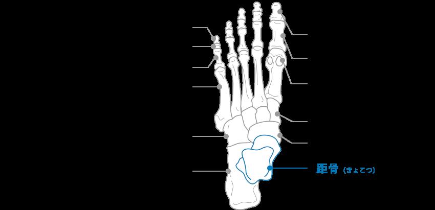 足の骨の図